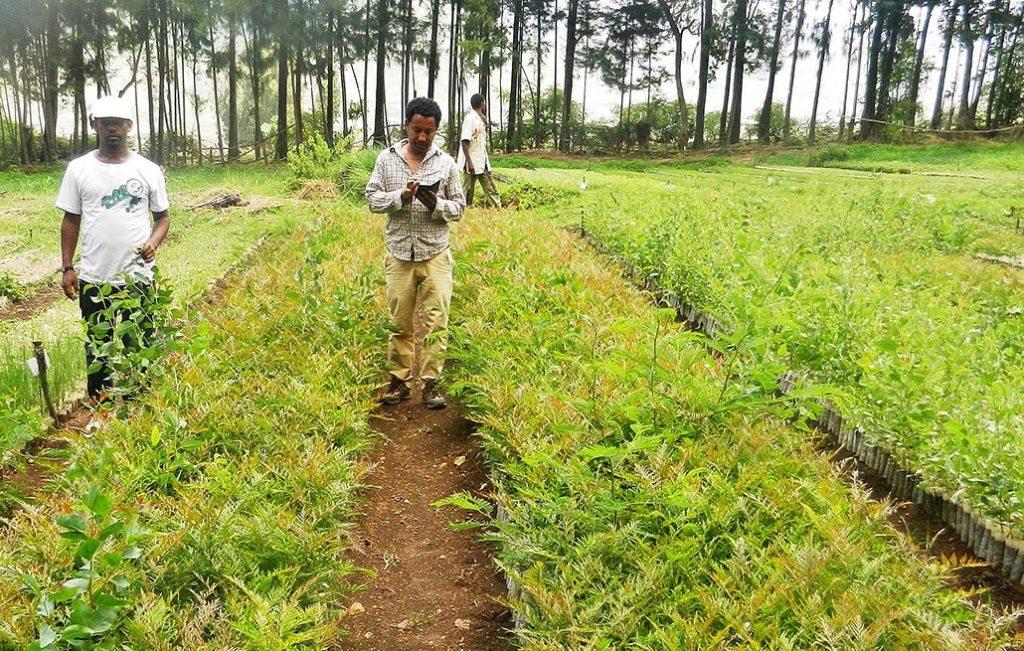 Zwei Mitarbeiter eines Aufforstungsprojekts in Äthiopien kümmern sich um die Setzlinge die auf einem Feld in Reihen herangezogen werden